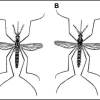 The primary mosquito vectors of Zika virus in Mississippi. (A) Aedes aegypti and (B) Aedes albopictus. Note the difference in white markings on the back. Figure courtesy of the Mississippi Department of Health.
